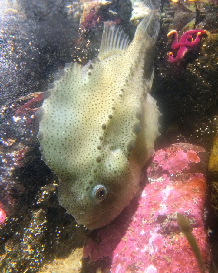 Lumpfish at the Aquarium