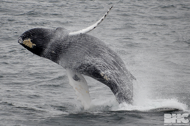Humpback whale breaches