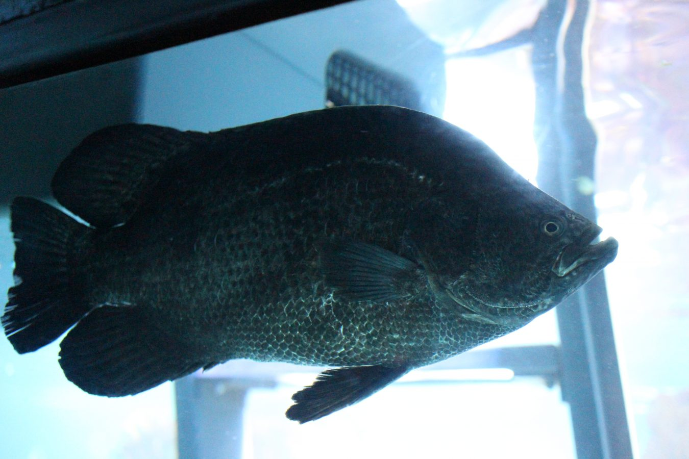Atlantic Tripletail fish swims in the GOT