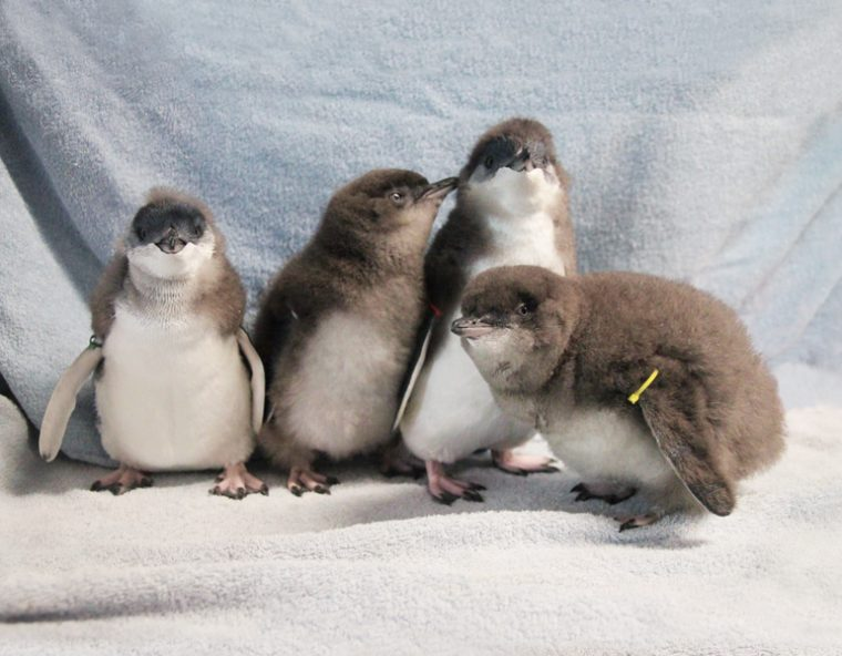 four little little blue penguins
