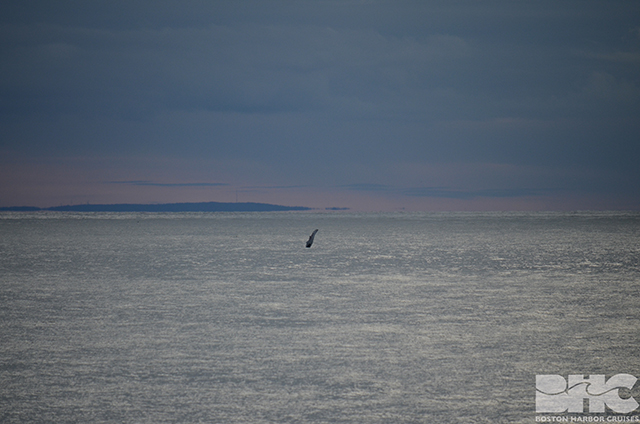 humpback in distance