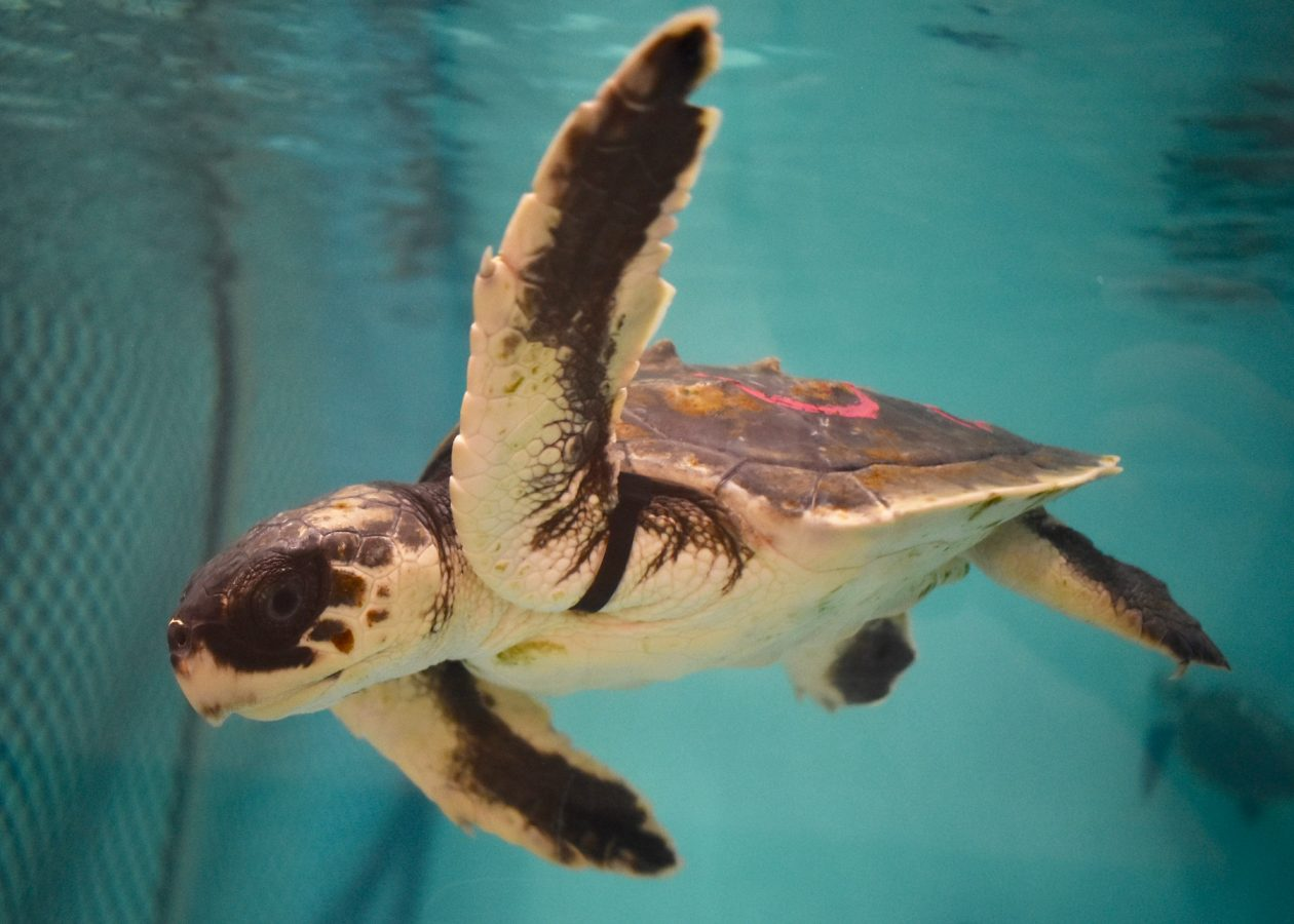 turtle in rehab pool