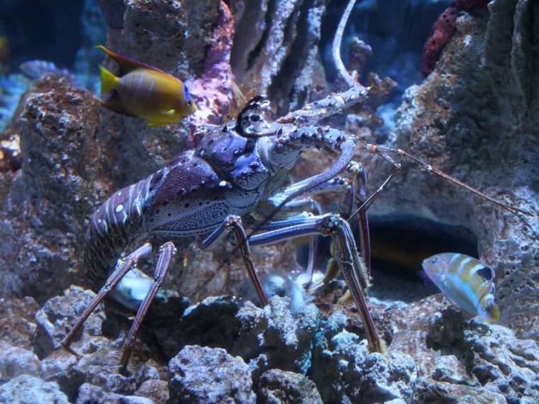 spiny lobster in blue hole exhibit