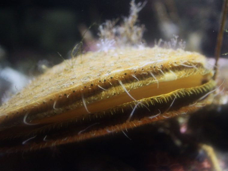 scallop eyes