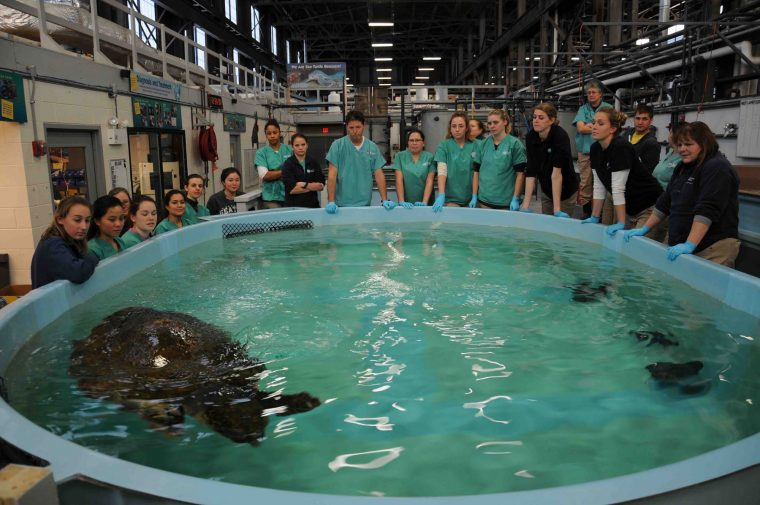 rescue staff behind loggerhead sea turtle