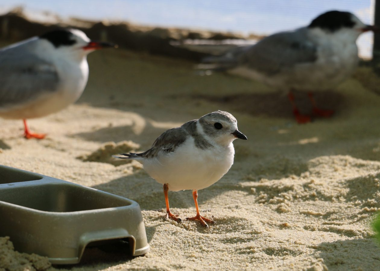 parker the piping plover