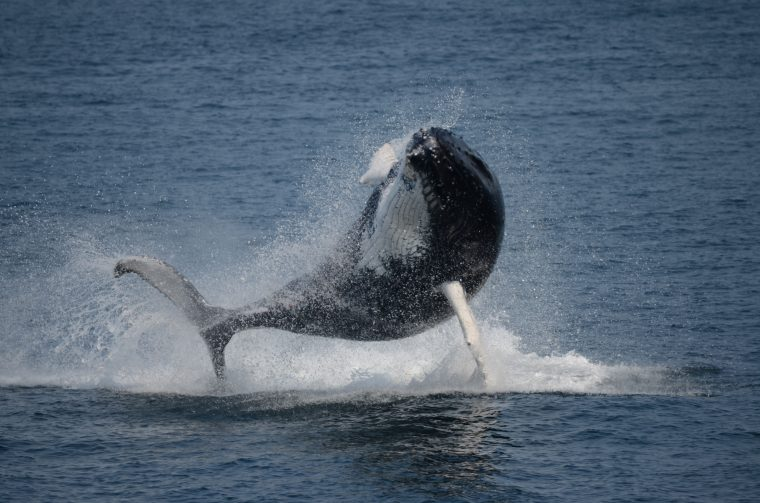 A humpback whale breaches. Photo credit: Laura Howes, Boston Harbor Cruises.