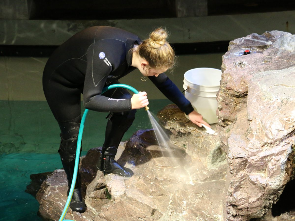 a volunteer at the New england aquarium cleans a penguin island