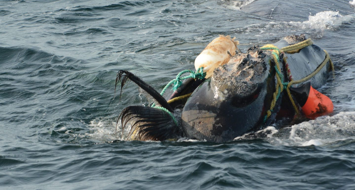 horribly entangled right whale