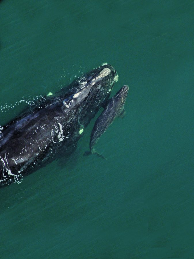 Right whale Catalog #2145 and calf in 2014. Credit: Florida Fish and Wildlife Commission under NOAA permit #15488.