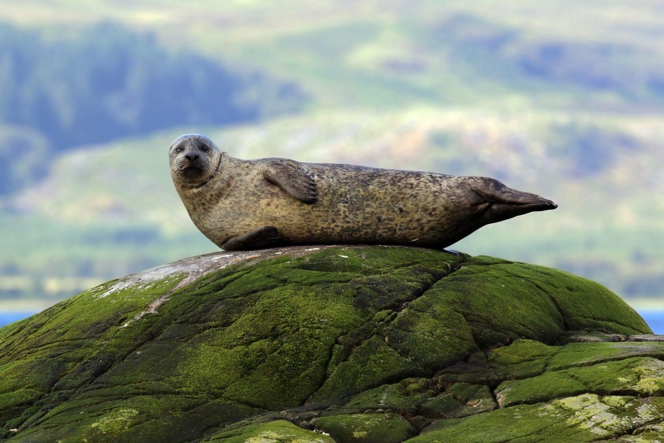 seal hauled out on rock
