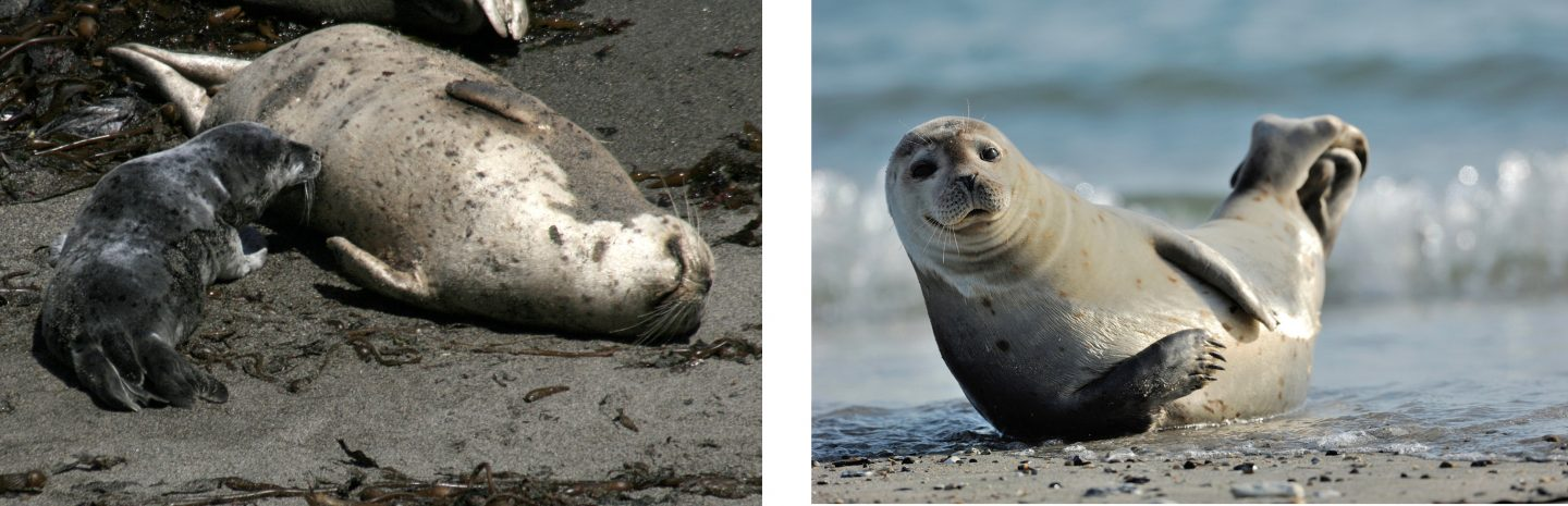 Harbor seal pup nursing, left, and an adult harbor seal.