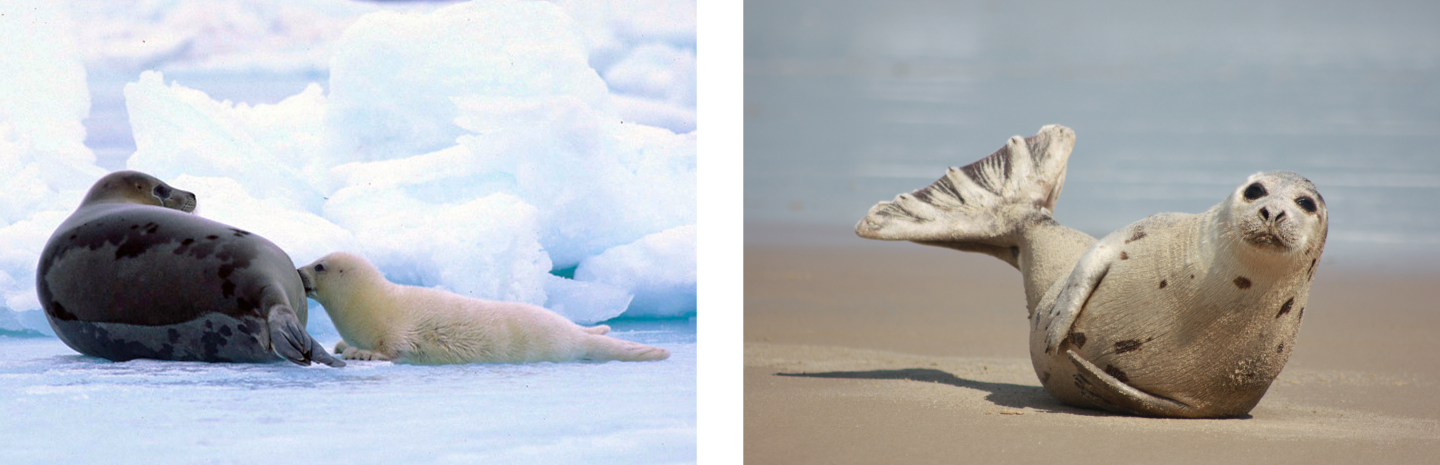 A nursing harp seal pup. (Left) Credit: NOAA Fisheries. (Right) a A juvenile ringed seal rests on a beach in Virginia. Credit: Virginia State Parks.