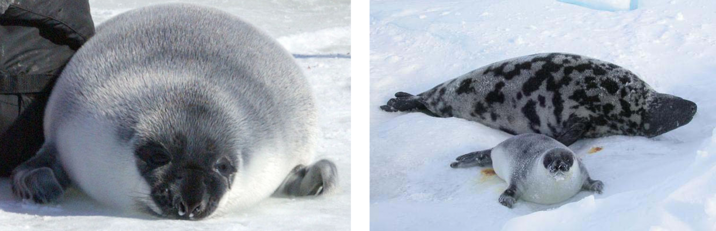 Hooded seal pup (left) Hooded seal mom and pup (right).