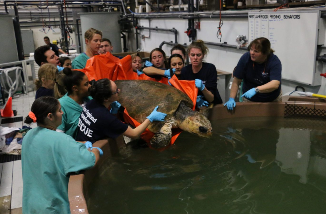 women on rescue team put loggerhead in a tank.