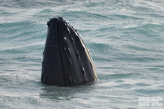 pleats humpback whale