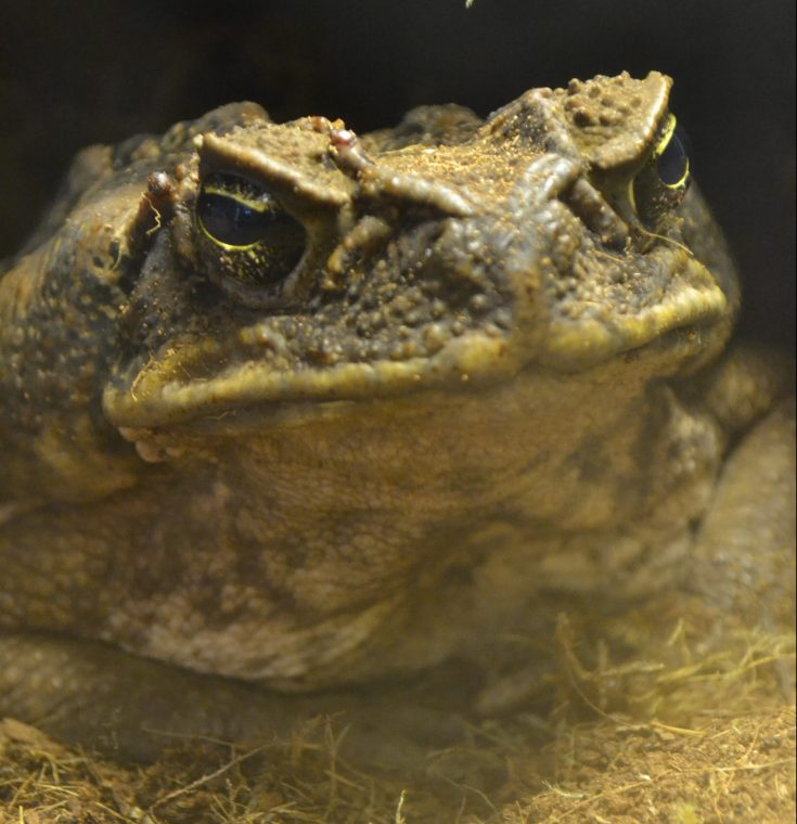 A very large toad staring back.