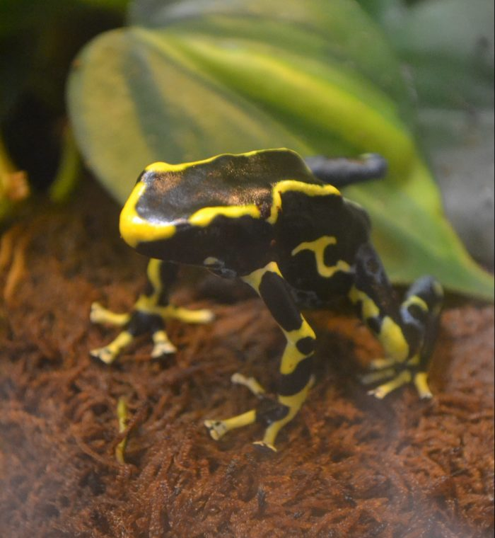 A yellow, black, and blue poison dart frog.