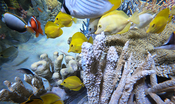 fishes swim in the Indo-Pacific Coral Reef Exhibit