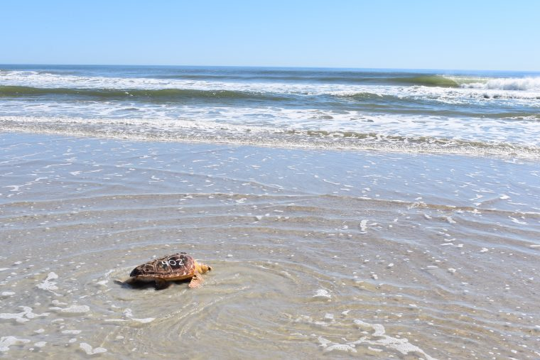 a sea turtle is released in Florida in April 2019