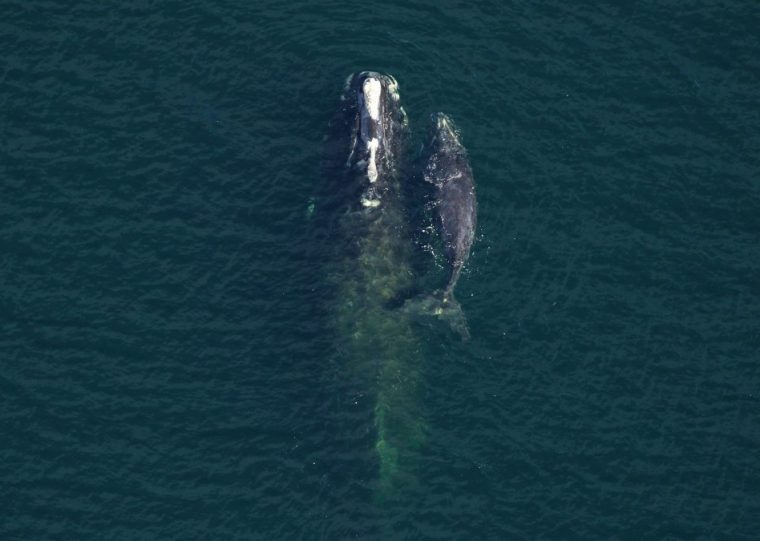 North Atlantic right whale mother and calf
