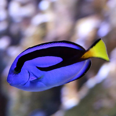 Dory in the Pacific Reef Exhibit