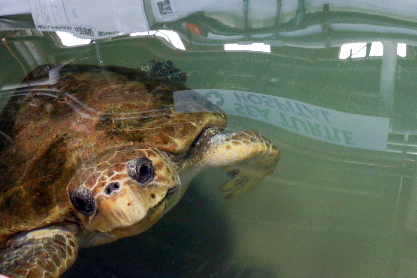 Munchkin the loggerhead sea turtle at the Quincy Animal Care Center