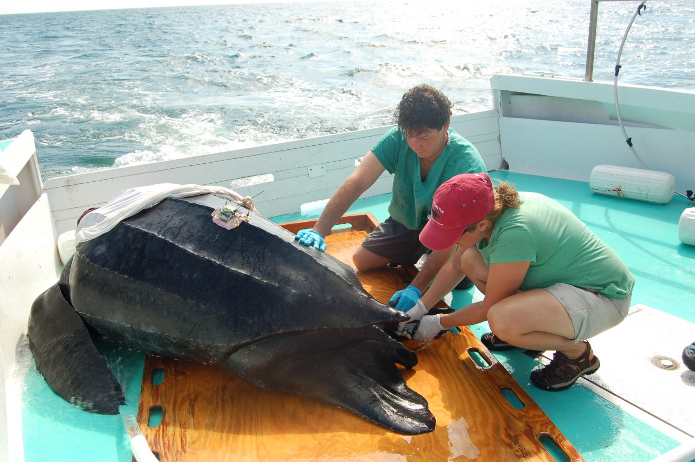 Dr. Kara Dodge tags a leatherback sea turtle.
