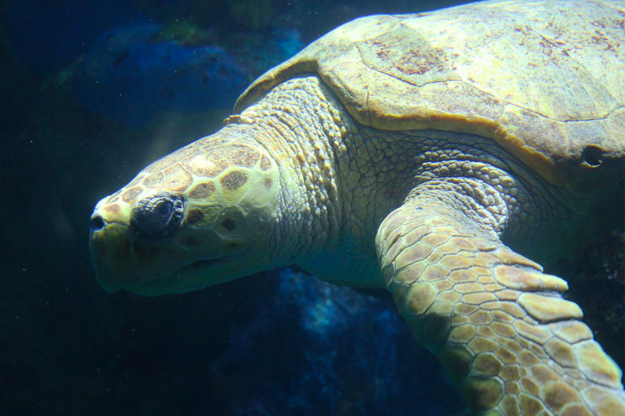 Retread the Loggerhead Sea Turtle