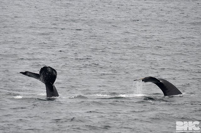 the flukes of two humpback whales