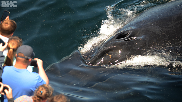 humpback whales gets close to whale watch boat.