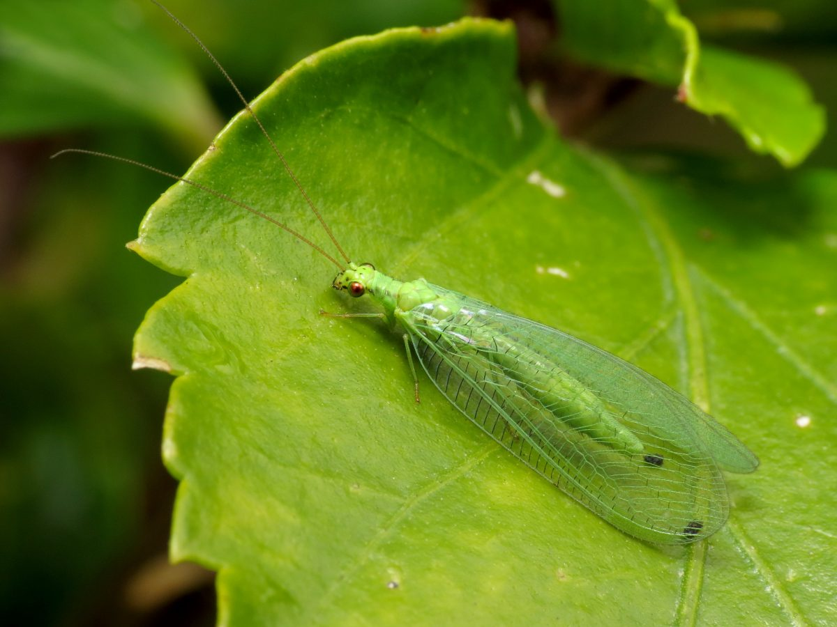 an adult green lacewing