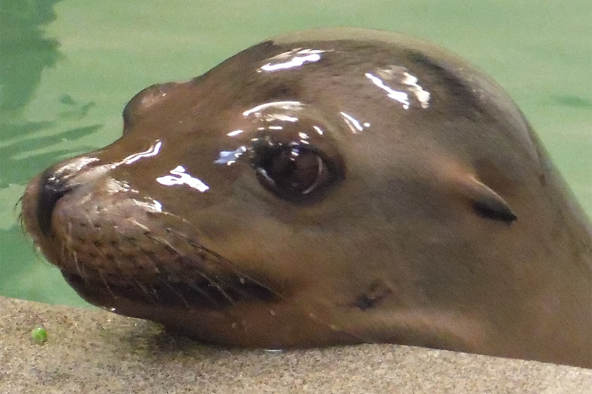 Zoe the California sea lion