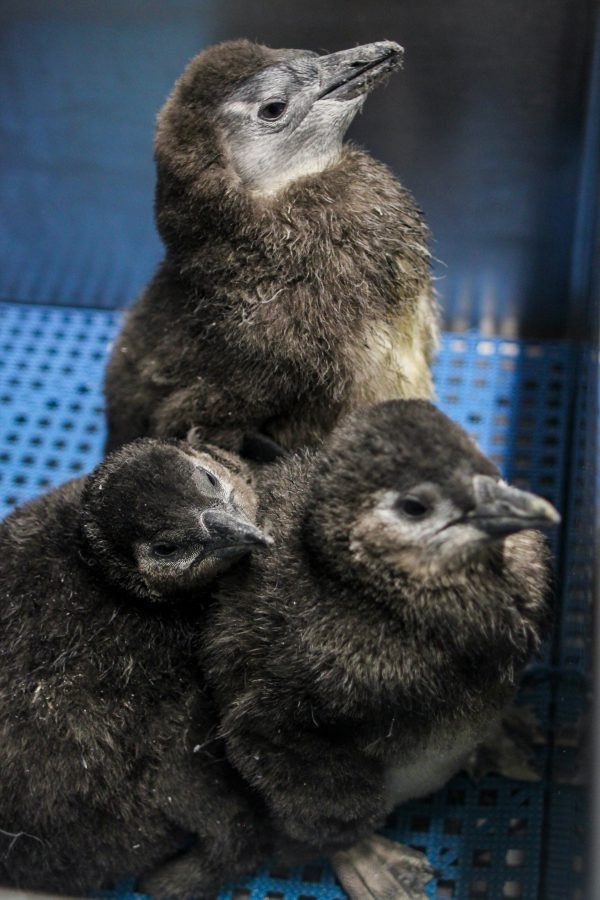 African Penguin Chick Weigh In
