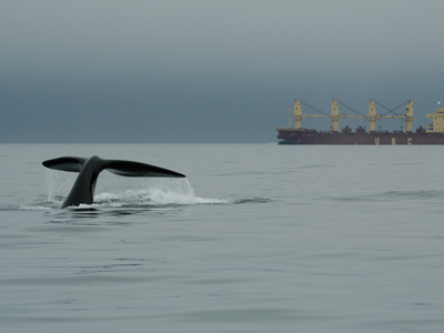 a whale's fluke appears in front of a cargo ship