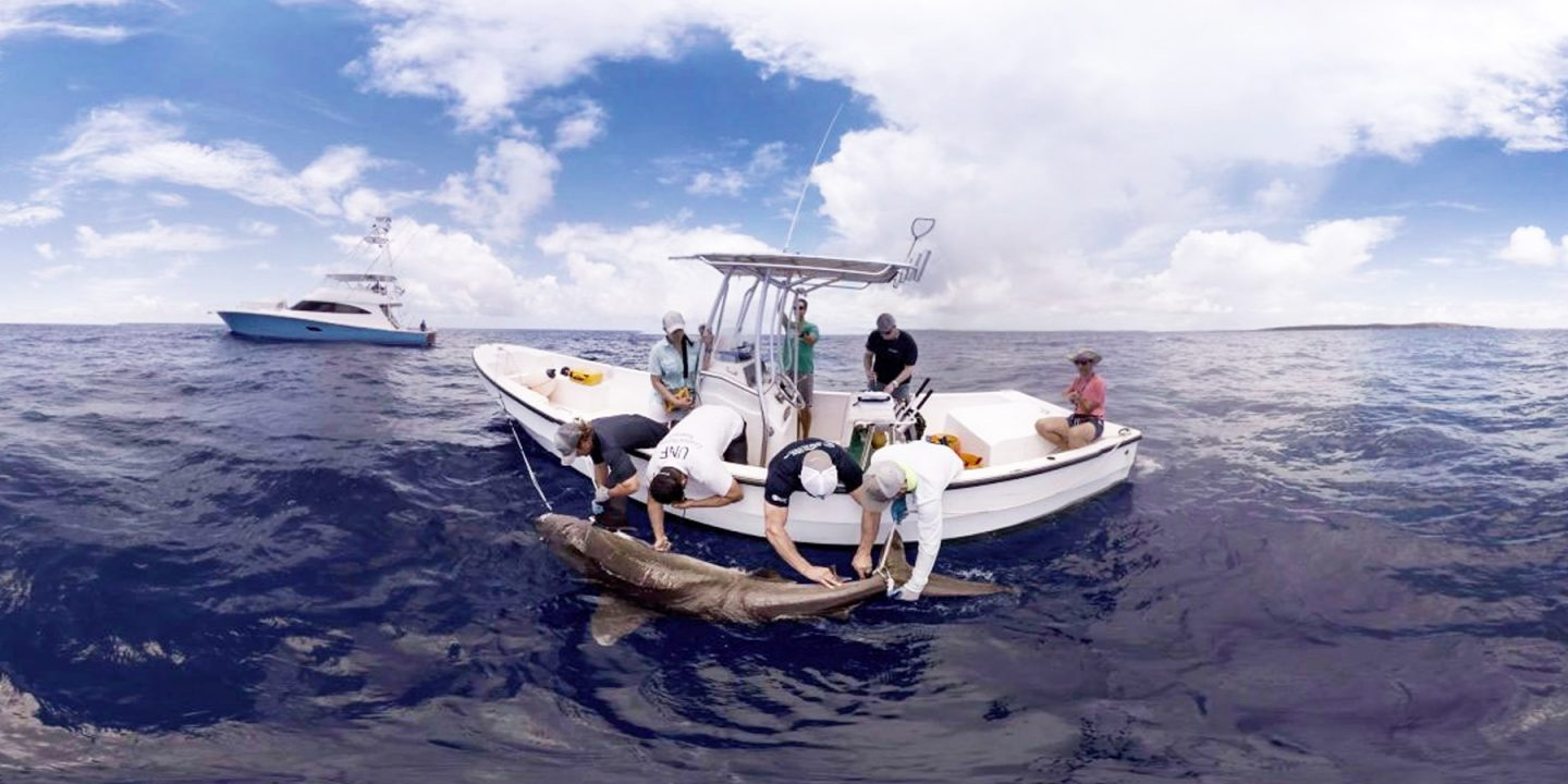 scientists tag a shark from a boat