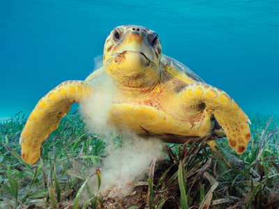 a sea turtle swims in the ocean