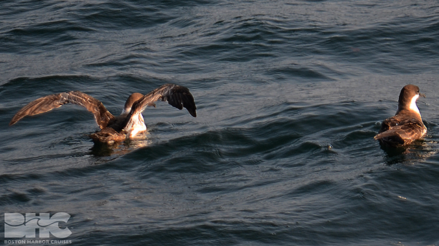 shearwaters on the water