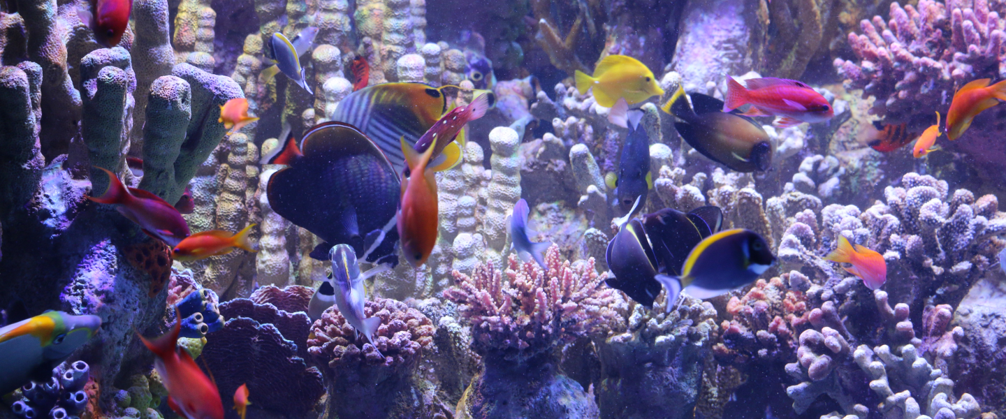 Tropical fish swimming in the Indo-pacific Reef Exhibit