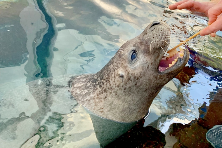 a seal gets its teeth brushed