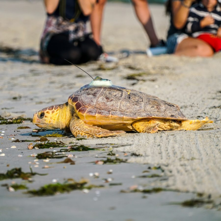a loggerhead sea turtle makes its way to the ocean after it was released on a Cape Cod beach
