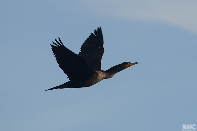 cormorant in flight