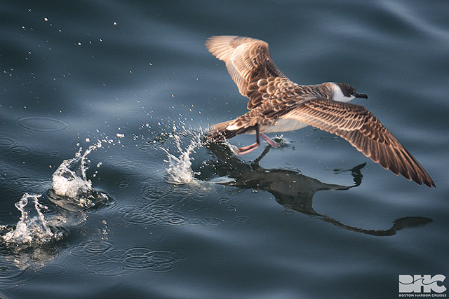 Shearwater taking flight