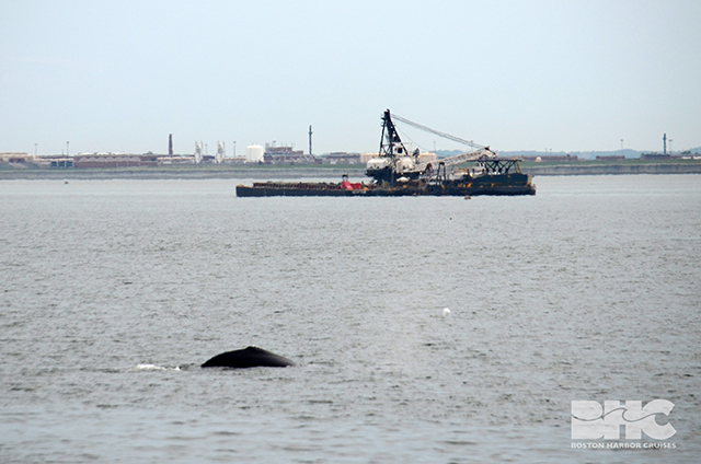 Young Humpback Whale Spotted In Boston Harbor