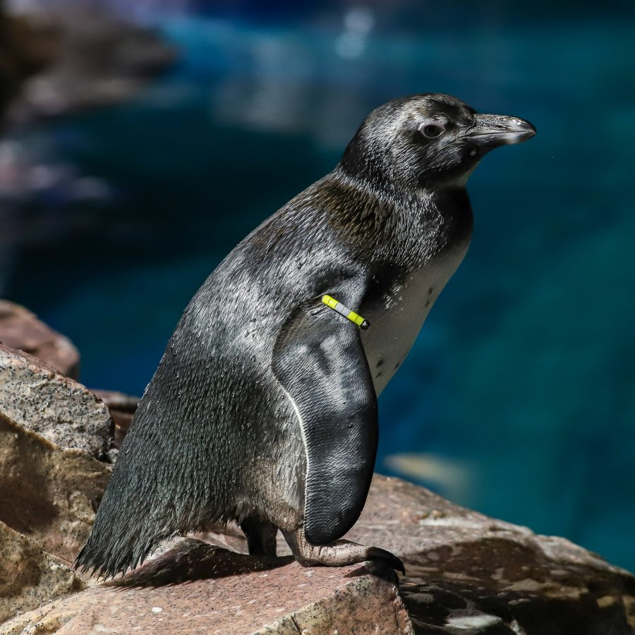 Chrysanthi, African Penguin Chick
