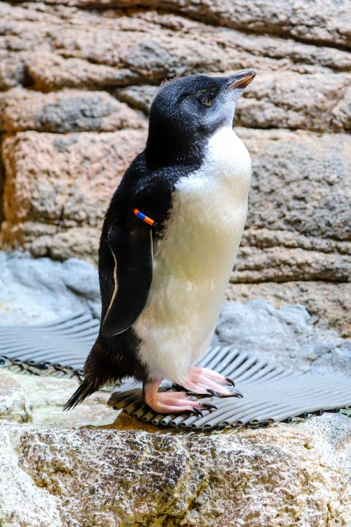 Rockhopper penguin chick Sea-cat makes their debut