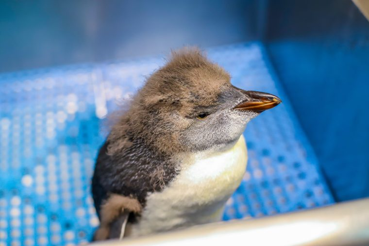 rockhopper penguin chick