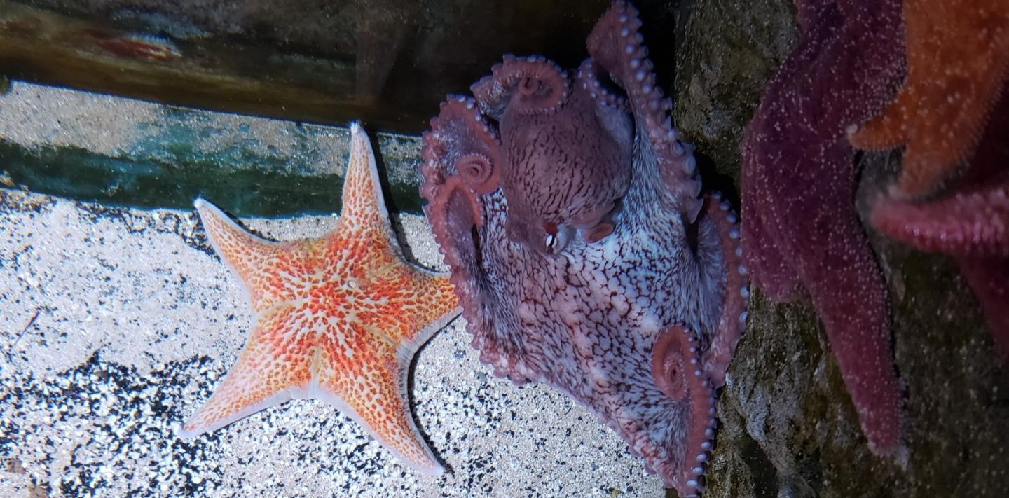 Edmond the octopus and a sea star