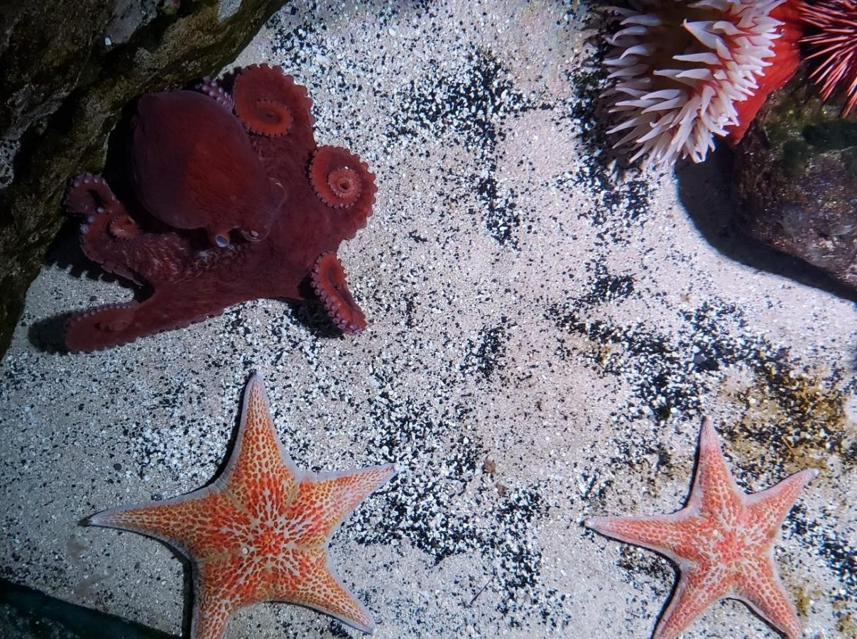 giant Pacific octopus Edmond and two sea stars
