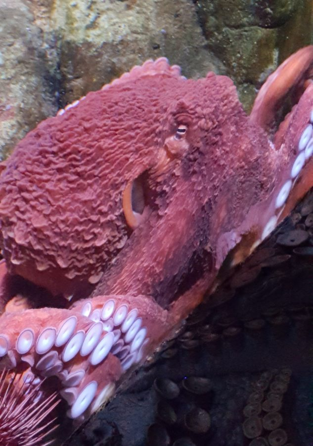 giant Pacific octopus Ruddy